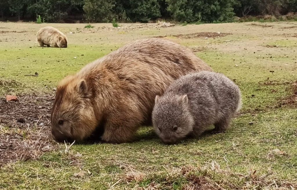 Two cute wombats. Find wombats on Maria Island.