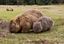 Mum and Baby wombat - one of the cutest Australian animals