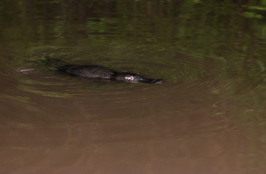 A platypus: the cute Australian animal which is hard to find (and very weird!)