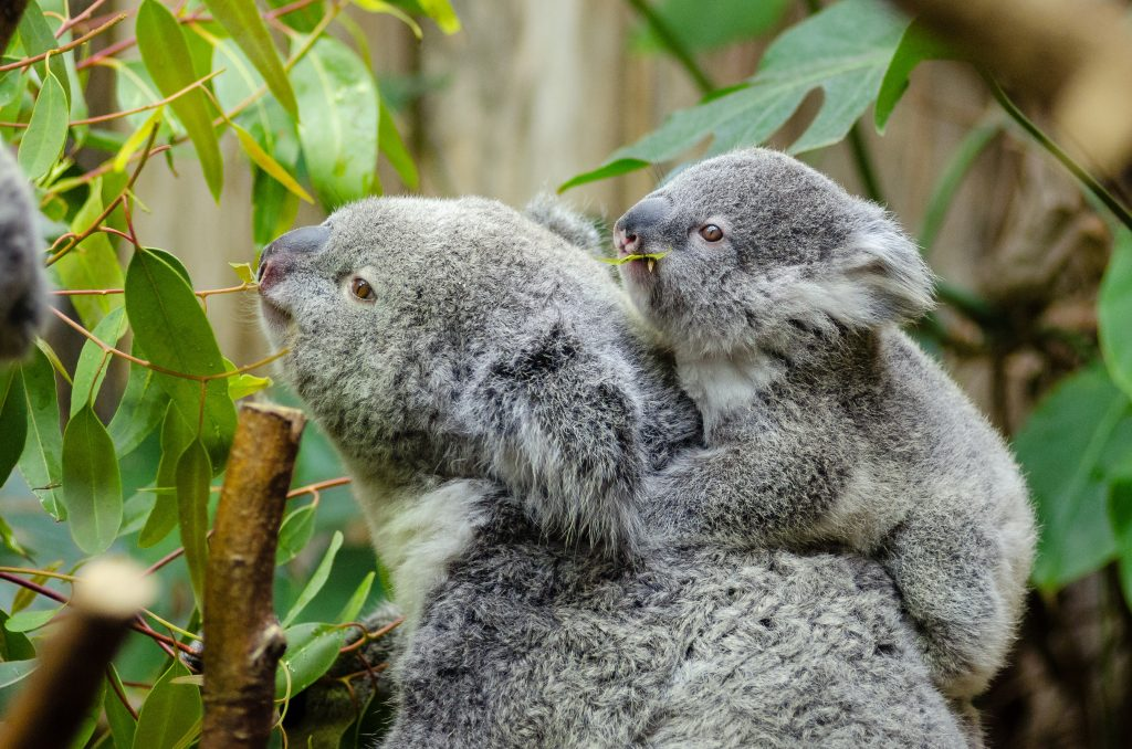 Everyone knows about cute koalas: find them on the East Coast
